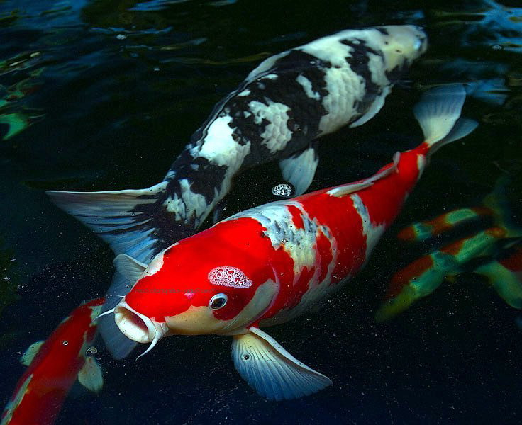 Do your homework better and faster for Beautiful koi fish
