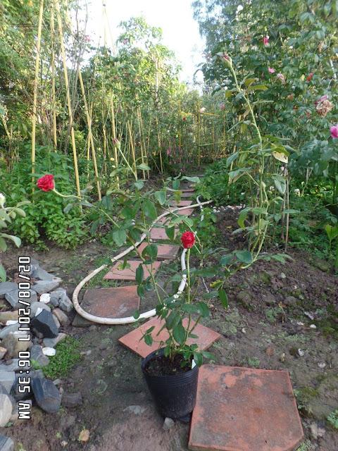 Cây hồng nhung Đà Lạt giâm cành sau 10 tháng trồng