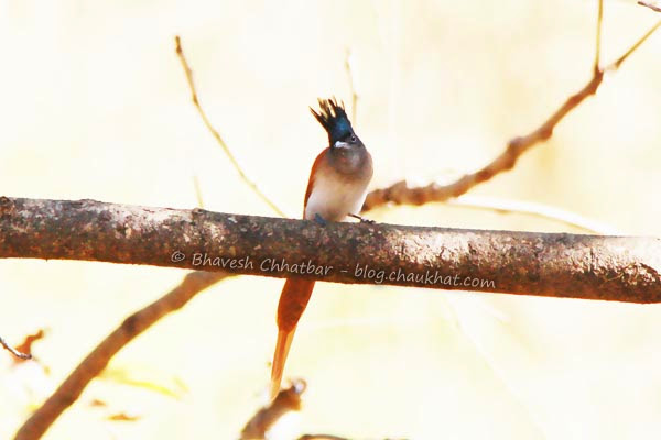 Spike haired Asian Paradise Flycatcher