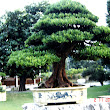31 Podocarpus costalis.JPG