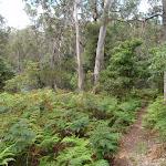 Track through the ferns near Bittangabee Creek (108004)