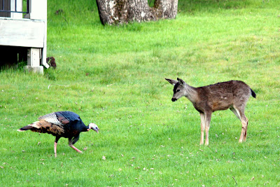 Deer and Wild Turkey in Portola Valley