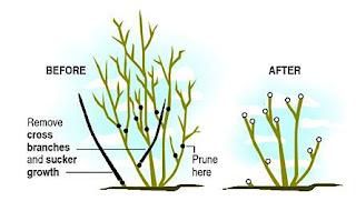 Ví dụ minh họa việc cắt tỉa nhánh cho 1 cây hoa hồng dạng bụi