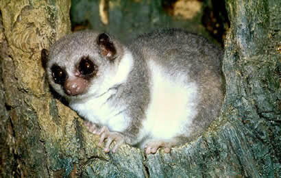 Madagascar's Fat-Tailed Dwarf Lemur