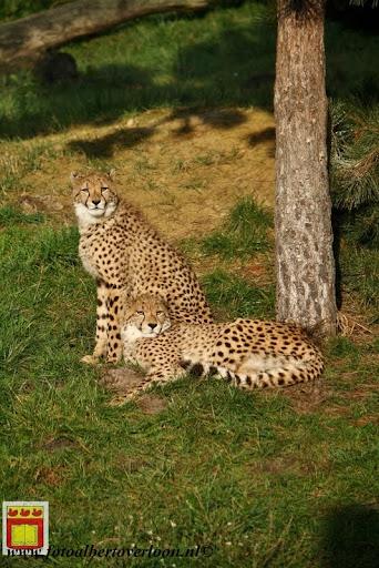 cheetahs vieren hun eerste verjaardag Zoo Parc Overloon (7) 11-11-2012.JPG