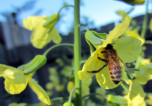 A close up of a Bee on a broccoli flower
