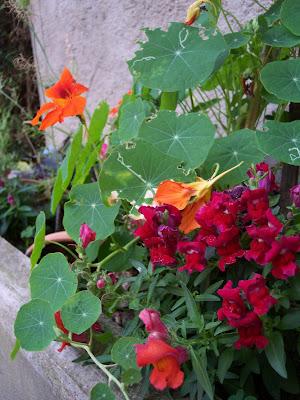 fleurs terrasse et pots fleurs et potagers. Black Bedroom Furniture Sets. Home Design Ideas