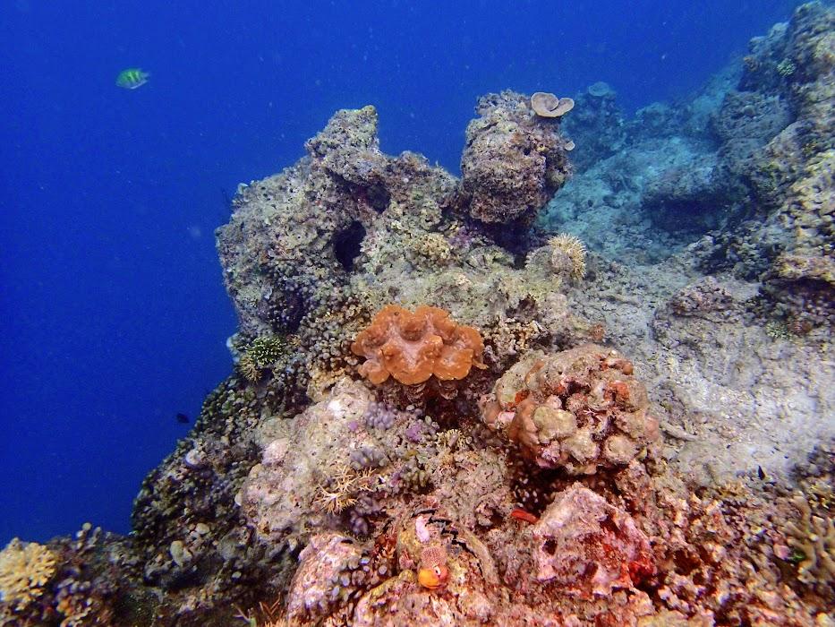 Tridacna Squamosa (Fluted Giant Clam), Miniloc Island Resort reef, Palawan, Philippines.