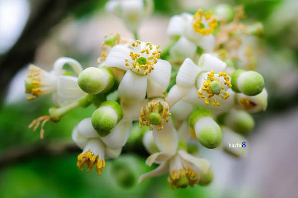 Thơ viết về hoa bưởi