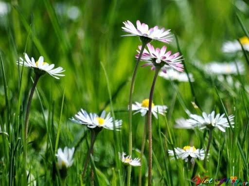 hoa cúc trắng hay còn gọi là hoa cúc dại
