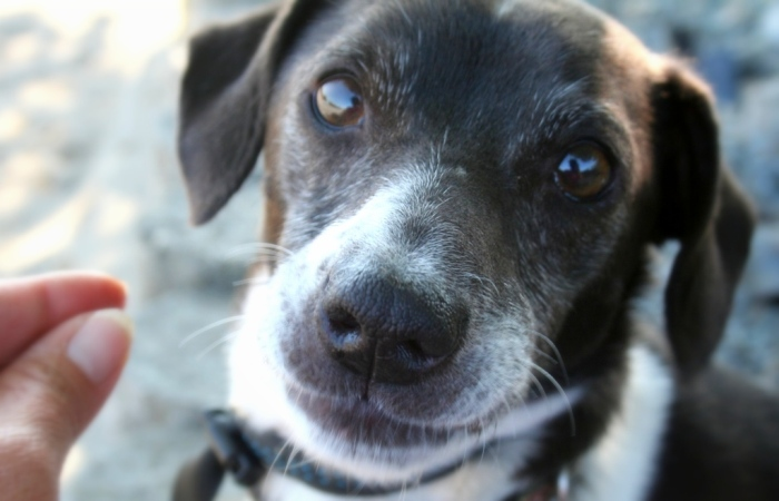 close up of little doxie mix dog's face, brown with white, slightly greying muzzle and sweet brown eyes