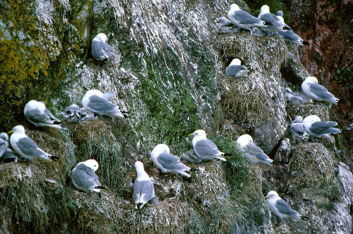 Kittiwakes and their young on the cliffs at St. Abb's Head, Borders.