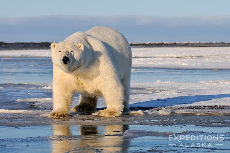 Urso pardo vs Urso polar - Página 2 12_oct12644