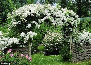 1 cổng sân vườn được trang trí bằng hoa hồng leo màu trắng tinh khiết