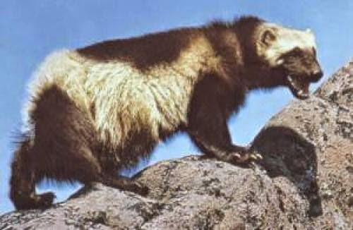Wolverine Animal Pictures