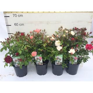 Hồng Tezza với nhiều màu sắc thường được trồng trong các chậu nhựa nhỏ, thích hợp để bàn hoặc trang trí ở các ban công, không gian nhỏ hẹp.