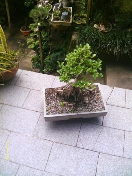 Ficus Microcarpa var. Indica... - Página 2 IMAG0174