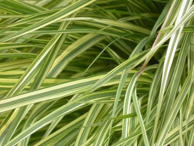 Molinia caerulea 'Variegata' (Detail)