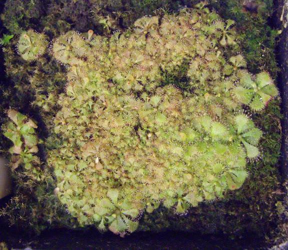 photos de mes orchidées en fleur - Page 2 IMGP4831