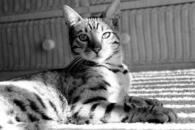 Donovan the Bengal Cat