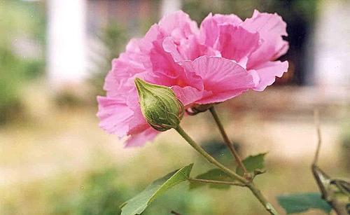 Thơ hoa phù dung