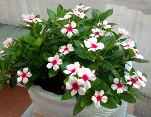 hoa dừa cạn rũ