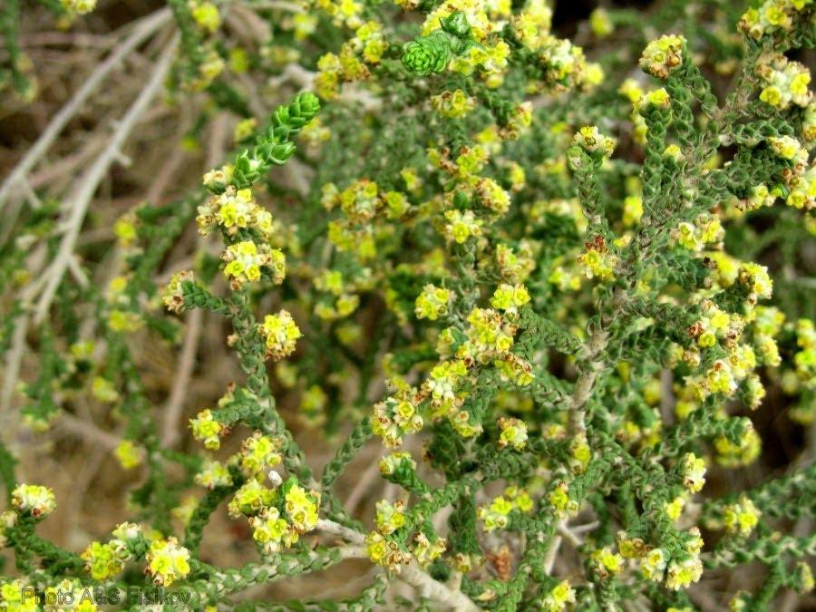 Цветы пустыни Негев, Матнан (вид Тимелии).