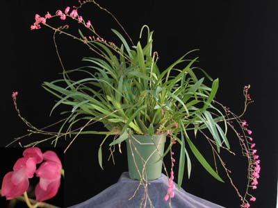 Растения из Тюмени. Краткий обзор - Страница 7 Symphyglossum%252520sanguineum