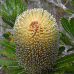 Banksia (107311)