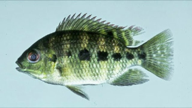 Best tasting fish in freshwater fishing tattoo design bild for Best tasting fish