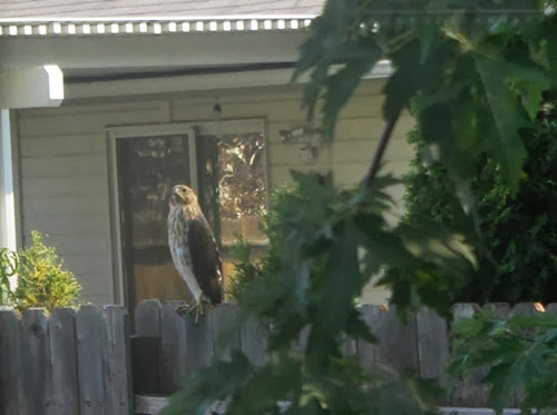 photo of a hawk sitting on our fence