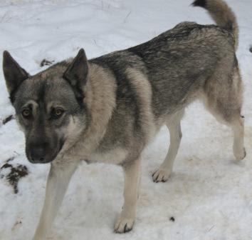 Reiko, wolf dog female, enjoying the snow