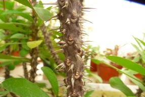Wilczomlecz okazały Euphorbia mili