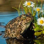 К чему снится жаба?