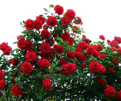 Red roses- Blaze climbing rose bush flower picture
