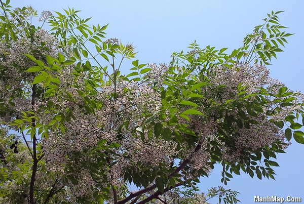 thơ mùa hoa xoan tím
