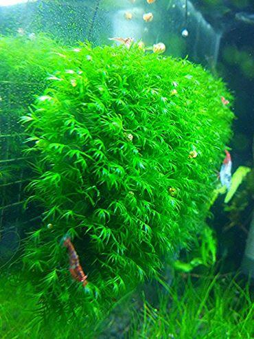 Rêu US Fiss - một loại rêu đẹp trong hồ thủy sinh