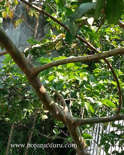 Psidium guajava, Guava branches