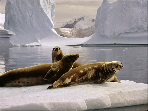 Seals at the South Pole, Antarctica.jpg