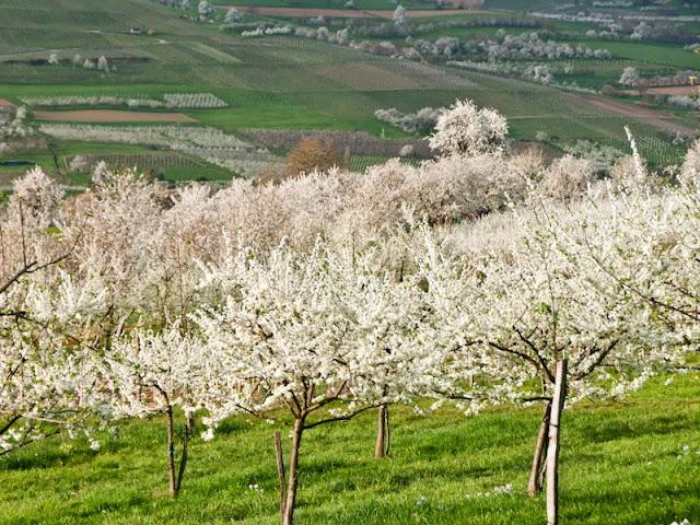 Kirschblüte im Eggenertal
