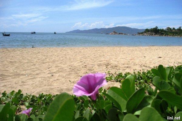 thơ tình buồn hoa Muống Biển