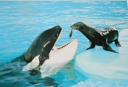 Sea Lion Feeding Killer Whale