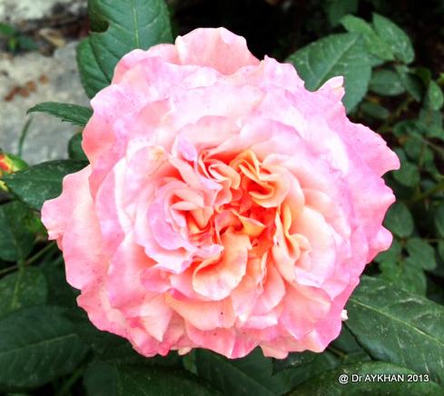 Augusta louise rose