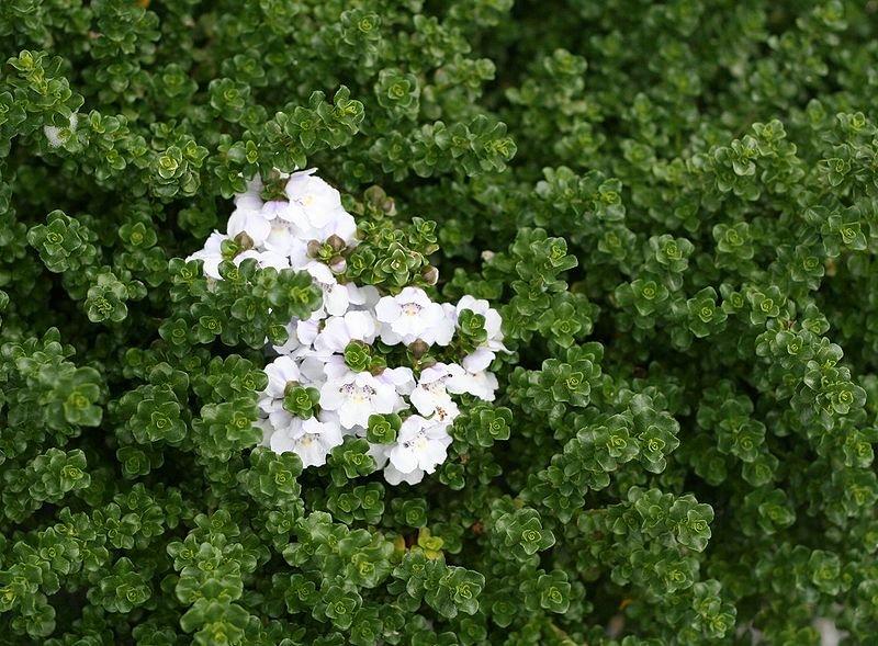 Prostanthera cuneata - Detalle de la flor