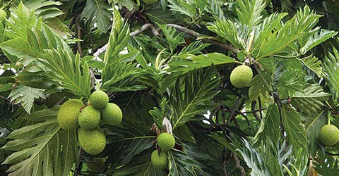 breadfruit plant leaf properties