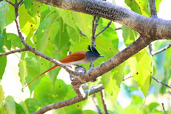 Asian Paradise Flycatcher [Female] about to take off