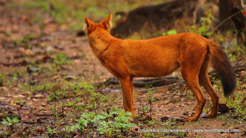Wild Dog or Dhole at Nagarhole National Park