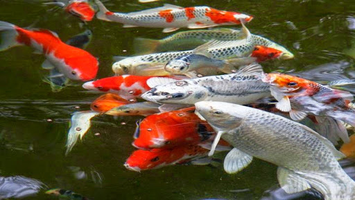 Pond Fish Supplier «The Funky Koi. Pet, Pond, Water Garden, Equine and Farm Supplies», reviews and photos, 41 Porter St, Berkley, MA 02779, USA