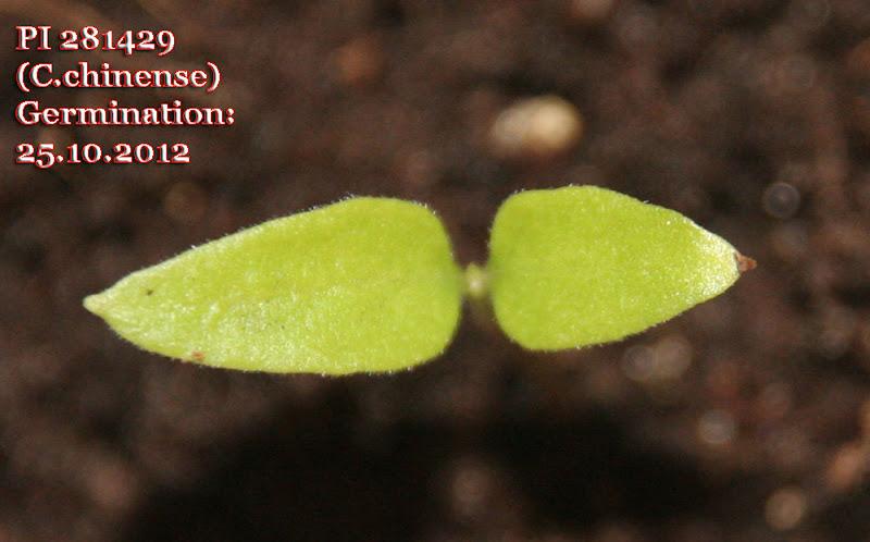 PI281429_6days_seedling.jpg