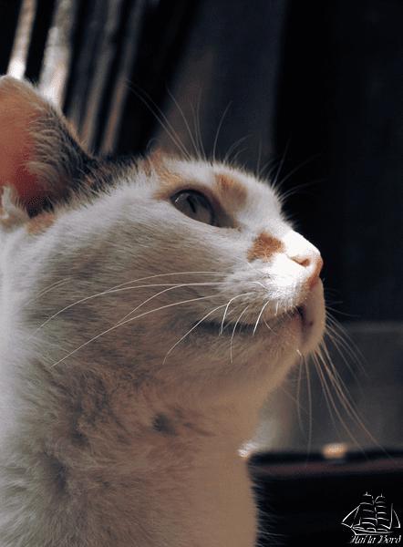 pisica sighisoara